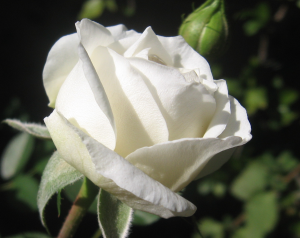 White_Rose_by_FullmetalDevil